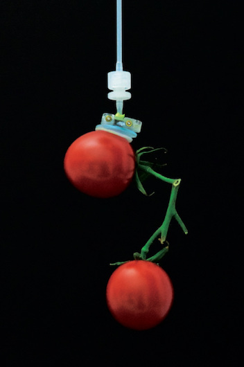 robotic grip, inspired by gecko feet, on cherry tomatoes